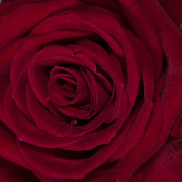 aboutflowers_valentine_rosered-closeup600