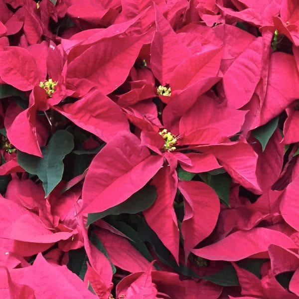 AboutFlowers_Plants_Poinsettia_Red