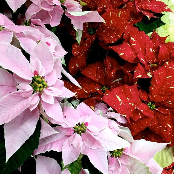 AboutFlowers_Plants_Poinsettia_pinkRed